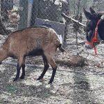 donkey goat