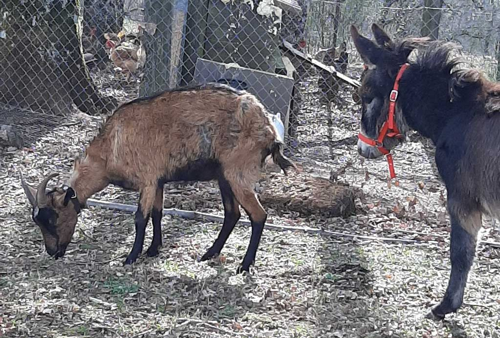 burro cabra